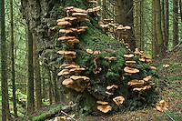 Armillaria borealis