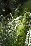 CANADA, Vancouver, British Columbia, detail of ferns near Brigade Bay on Gambier Island, in the Howe Sound