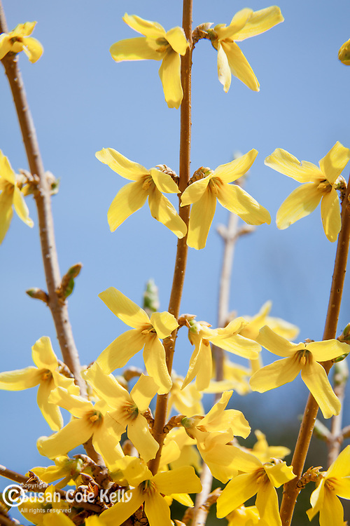 Forsythia bloom in spring at the Arnold Arboretum, part of Boston's Emerald Necklace in the Jamaica Plain neighborhood of Boston, MA, USA
