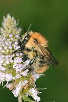 Common Carder Bee - Bombus pascuorum