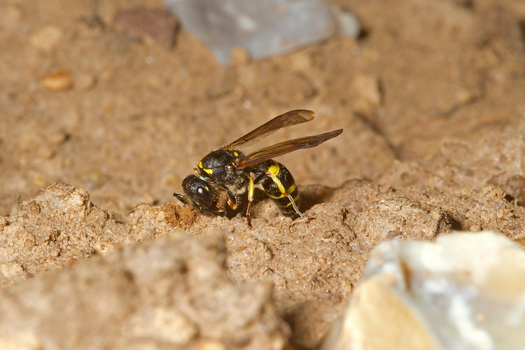 European Potter or Tube Wasp - Anistrocerus gazella. Female sealing nest entrance with mud.