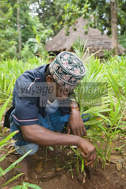"""Afrique/Afrique de l'Est/Tanzanie/Zanzibar/Ile Unguja/env de Stone Town: Abdul dans son """"Spices Garden """" de sa """"Banana Farm"""" cueille une racine de gingembre"""