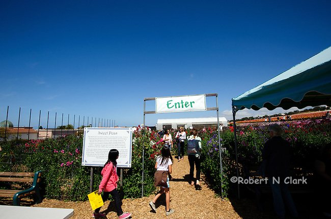School children playing in the sweet pea maze at the flower fields in Carlsbad