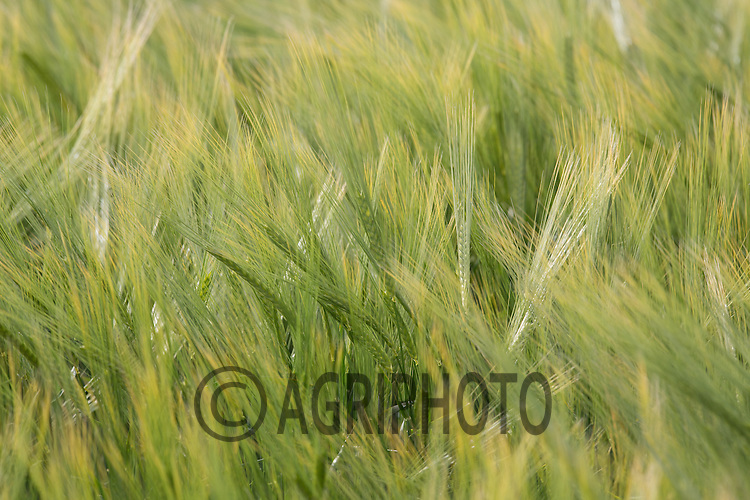 Winter Barley coming into ear<br /> Picture Tim Scrivener 07850 303986