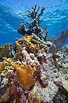 Key Largo, Molasses Reef, Elkhorn coral, coral reef