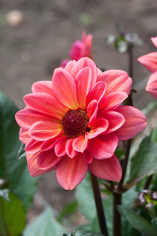 Dahlia 'Classic Poeme', early September. A salmon pink dahlia bred in Holland.