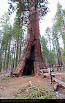California Tunnel Tree, Giant Sequoia, Sequoiadendron giganteum, Mariposa Grove of Giant Sequoias, Yosemite National Park