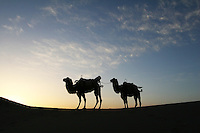 Camels used to carry tourists near the tourist attraction Ming Sha Shan. Dunhuang, Gansu Province. China