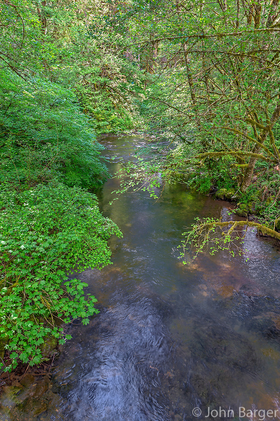 ORSF_D138 - USA, Oregon, Silver Falls State Park, Spring flora; primarily maple and red alder, along North Fork Silver Creek.