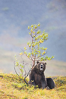 Grizzly bear scratches on a willow bush, Denali National Park, Alaska.