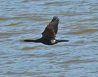 Pelagic Cormorant AK