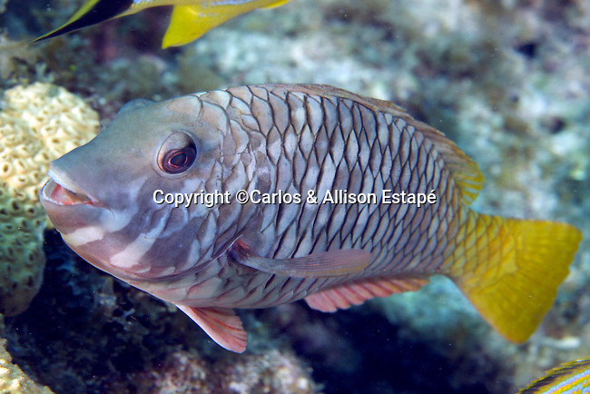 Sparisoma rubripinne, Yellowtail parrotfish, Florida Keys