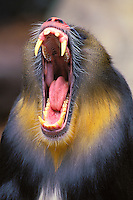 Mandrill (Papio sphinx) or (Mandrillus sphinx) male yawning..(Lowry Park Zoo, Tampa, Florida)