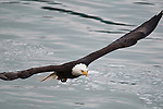 A mature Bald Eagle in flight, as many as 2000 eagles congregate in the area along the Squamish river every year to feed on spawning salmon. Breakendale, British Colombia, Canada, December 23, 2009.  Photo by Gus Curtis