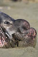 Male Northern Elephant Seal (Mirounga angustirostris) resting on beach.