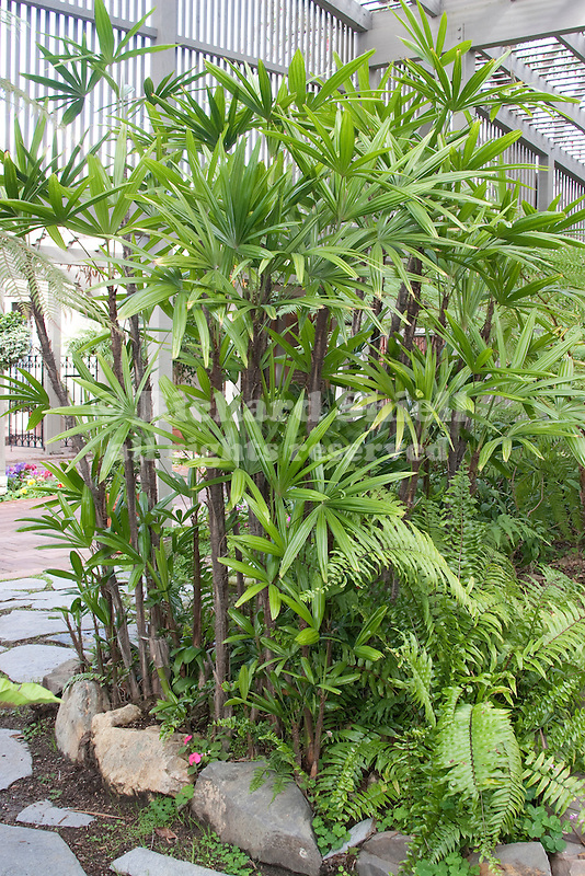 Lady Palm, Rhapis excelsa, and Sword Fern, Nephrolepis sp. in shade house, at Corona Del Mar CA USA