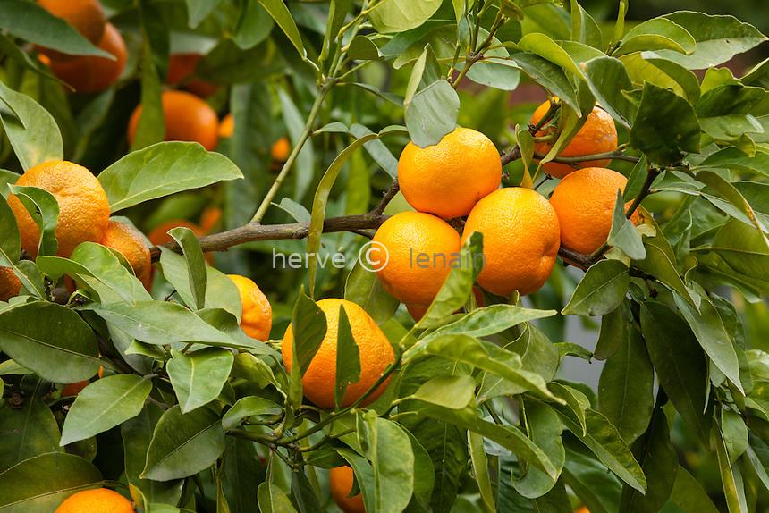 France, Alpes-Maritimes (06), Menton, La Citronneraie, orange amère = bigaradier, Citrus aurantium