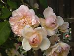Jaune Desprez Rose, Tea Noisette Rosa hybrid, before 1830