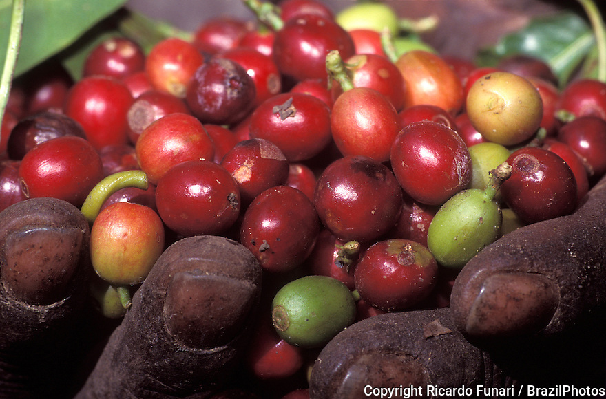 Black worker holds red coffee fruits in coffee plantation. Minas Gerais State, Brazil.