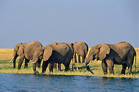 African Elephants.African Elephants feeding and drinking along the edge of Lake Kariba in Matusadona National Park, Tanzania.