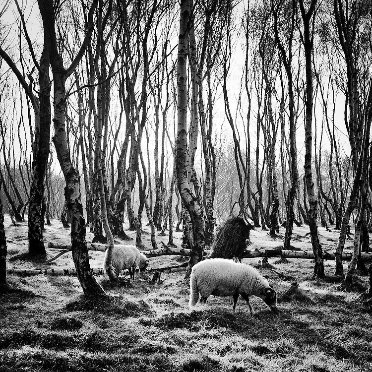Sheep grazing at Silver Birch Forest, Bolehill Quarry, Peak District