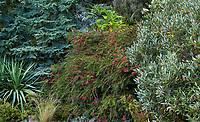 Evergreen shrub tapestry (l > r)Yucca recurva, Tsuga mertensiana, Callistemon 'Woodlander Hardy', Grevillea victoriae in Elisabeth Miller Botanical Garden, Seattle. Washington