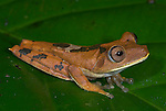 Gladiator Tree Frog, Hyla Boans, Iquitos, Peru, jungle, amazon, large frog on leaf, orange and brown pattern colours, giant, eyes have nictitating membrane enabling frog to see in daylight, protects eyes, nocturnal. .South America....