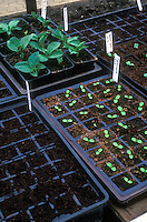 Seedlings in flats and pots, new young plants emerging, growth, baby plants, starting plants from seeds, on bench, labels
