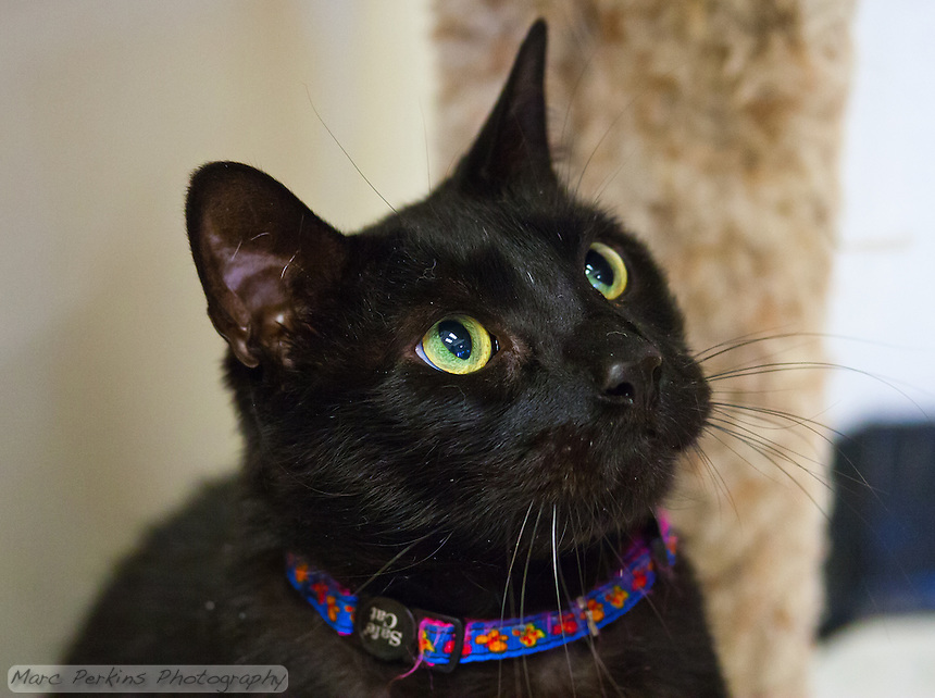 Hurricane, a seven year old male short-haired black cat, looking up at a toy while playing at the rescue shelter.   Hurricane is a very intelligent, outgoing cat who loves people and is not afraid of anything, but who needs to live in a house without other pets as he can be aggressive to other dogs and cats.  Hurricane is up for adoption at Miss Kitty's Rescue in Costa Mesa, CA.  This picture was taken pro bono for Miss Kitty's Rescue to help them advertise the cats for adoption.