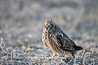 01113-011.13 Short-eared Owl (Asio flammeus) on ground near Prairie Ridge State Natural Area, Marion Co., IL