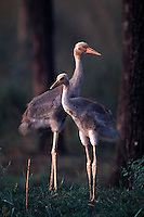 Two Young Sarus Cranes. Grus antigone. Lumbini Crane Sanctuary. Lumbini, Nepal.
