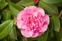 Camellia x williamsii 'Debbie' AGM