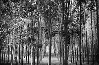 Straight rows of Teak trees draws viewer down straight path into the forest on the island of Kauai, HI in this black & white rendering