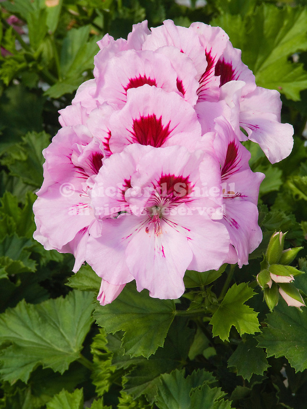 Martha Washington Geranium, Pelargonium Elegance Lavender Splash