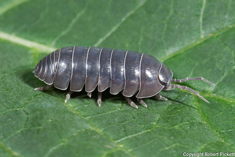 Pill Woodlice or pillbug, Armadillidium vulgare, on leaf in garden, segmented body, legs,