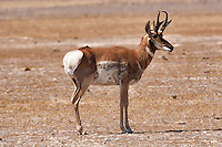 An antelope watches cautiously in the Salt Lake Desert. Herds of antelopes were noted in the diary of Jedediah Smith and his 1827 crossing of the Great Salt Lake Desert.