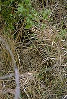 Fazant  (Phasianus colchicus) broedend
