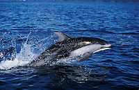 nb120. Pacific White-sided Dolphin (Lagenorhynchus obliquidens) leaping. British Columbia, Canada, Pacific Ocean..Photo Copyright © Brandon Cole.  All rights reserved worldwide.  www.brandoncole.com..This photo is NOT free. It is NOT in the public domain...Rights to reproduction of photograph granted only upon payment of invoice in full.  Any use whatsoever prior to such payment will be considered an infringement of copyright...Brandon Cole.Marine Photography.http://www.brandoncole.com.email: brandoncole@msn.com.4917 N. Boeing Rd..Spokane Valley, WA 99206   USA..tel: 509-535-3489