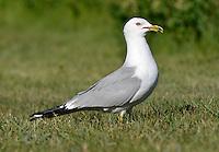 Ring-billed Gull - Larus delawarensis - summer adult
