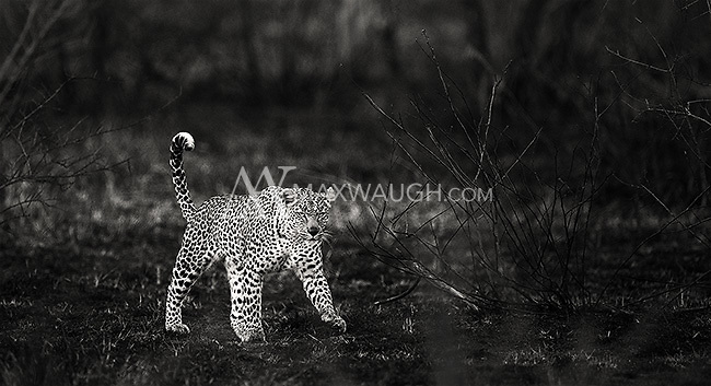 We were fortunate to see three leopards in Kruger, where it can often be quite difficult to find this species.<br /> <br /> This image is also available in color.