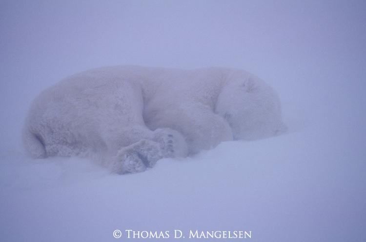 Polar bear sleeps in a snowstorm.