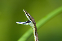 Brown Vine Snake (Oxybelis aeneus) showing threat display and blue mouth, Bocas del Toro, Colon Island, Panama