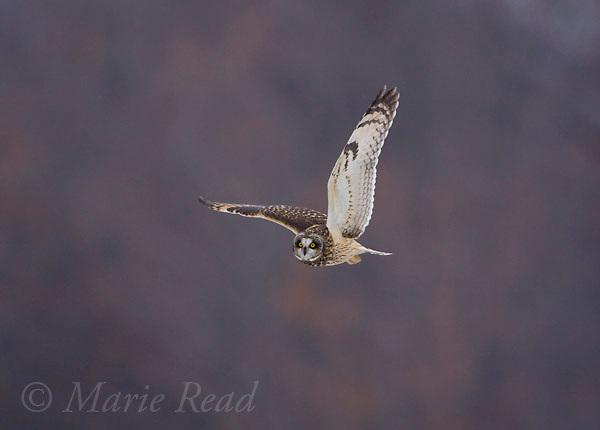 Short-eared Owl (Asio flammeus), in flight in winter, Ithaca, New York, USA
