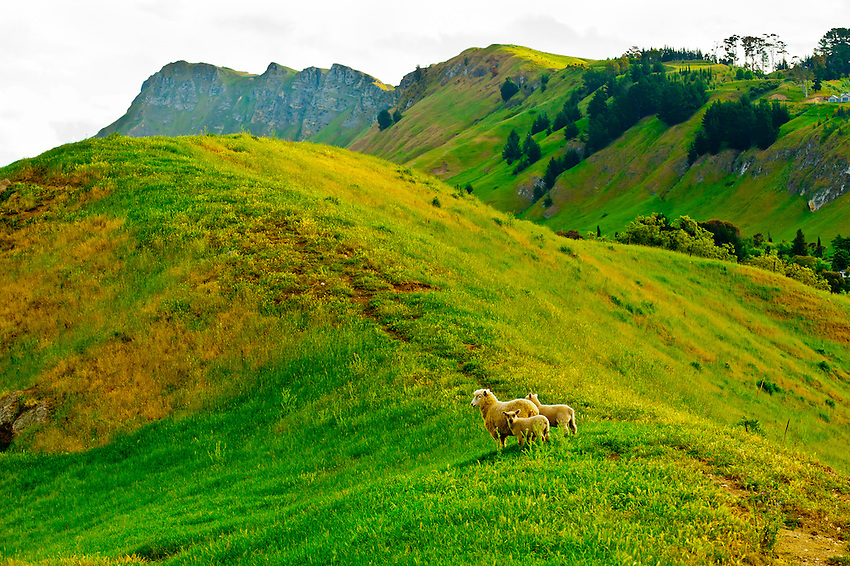 Sheep grazing in the Tuki Tuki Hills (with Te Mata Peak in back), near Napier, Hawkes Bay, north island, New Zealand