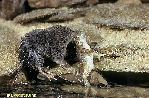 MU40-016z  Water Shrew - with frog prey - Sorex palustris