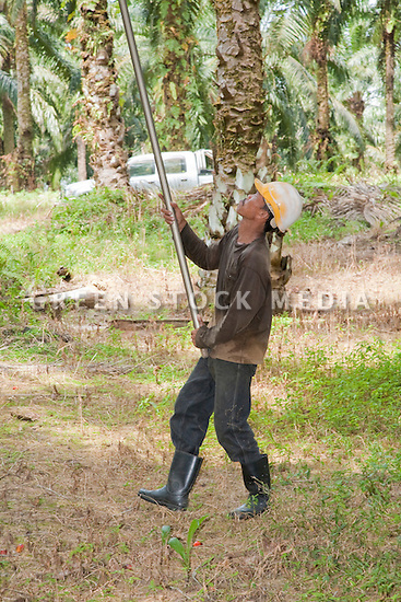 A worker using a long pole with blade to cut fresh fruit bunches and fronds from high in the oil palms. The Sindora Palm Oil Plantation, owned by Kulim, is green certified by the Roundtable on Sustainable Palm Oil (RSPO) for its environmental, economic, and socially sustainable practices. Johor Bahru, Malaysia