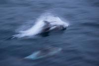 White-beaked dolphin, Lagenorhynchus albirostris, Svalbard, Norway, Arctic