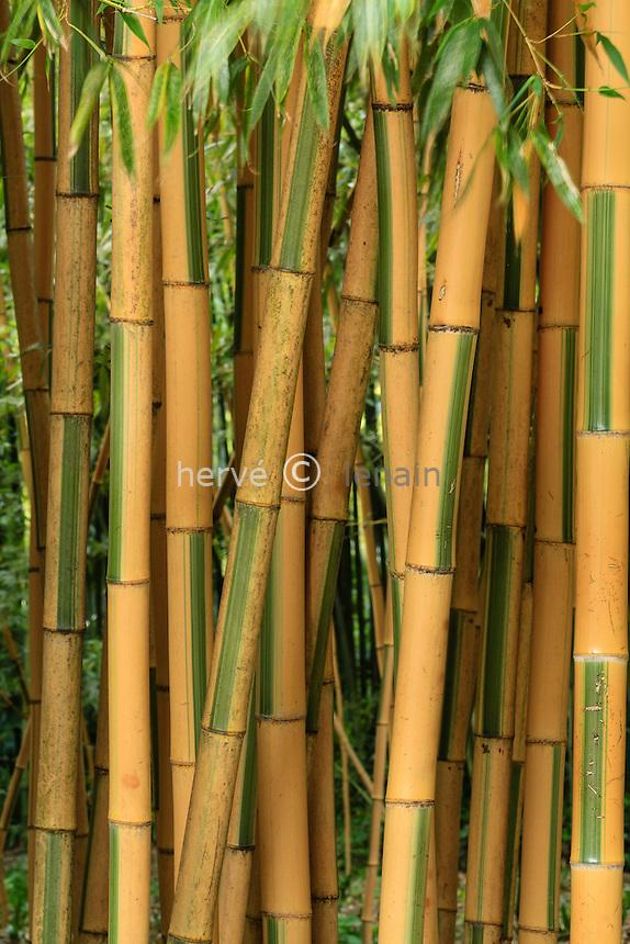 France, Gard, Générargues, LA BAMBOUSERAIE : bambou, Phyllostachys bambusoides 'Castillonis'.