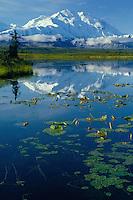 Yellow pond lilies<br /> Tundra pond and Mt. McKinley<br /> Denali National Park<br /> Alaskan Range,  Alaska