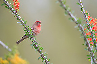 House Finch (Haemorhous mexicanus frontalis), Common Group, male at the Desert Botanical Garden in Phoenix, Arizona.